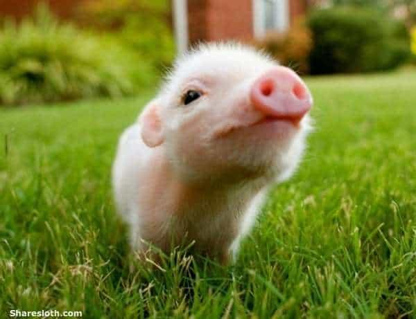 tecnica porco